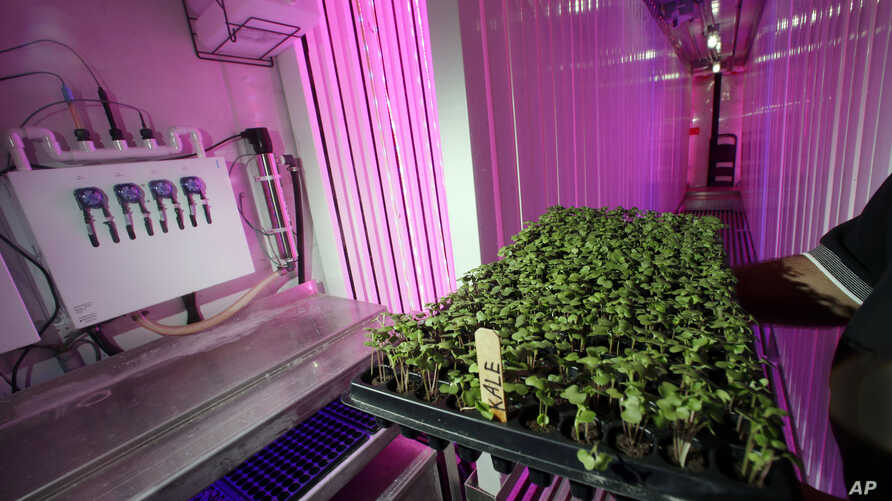 Don Holman, an engineer at the U.S. Army Natick Soldier Research, Development and Engineering Center in Natick, Mass., holds sprouted kale under LED grow lights inside a refurbished shipping container, June 22, 2016.