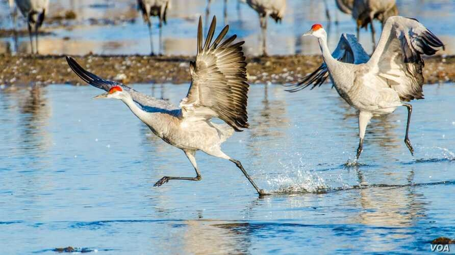 FILE -- Sandhill cranes begin a playful hopping and leaping as the sun rises on the Platte River in central Nebraska, a staging location on one of the world's largest migrations.