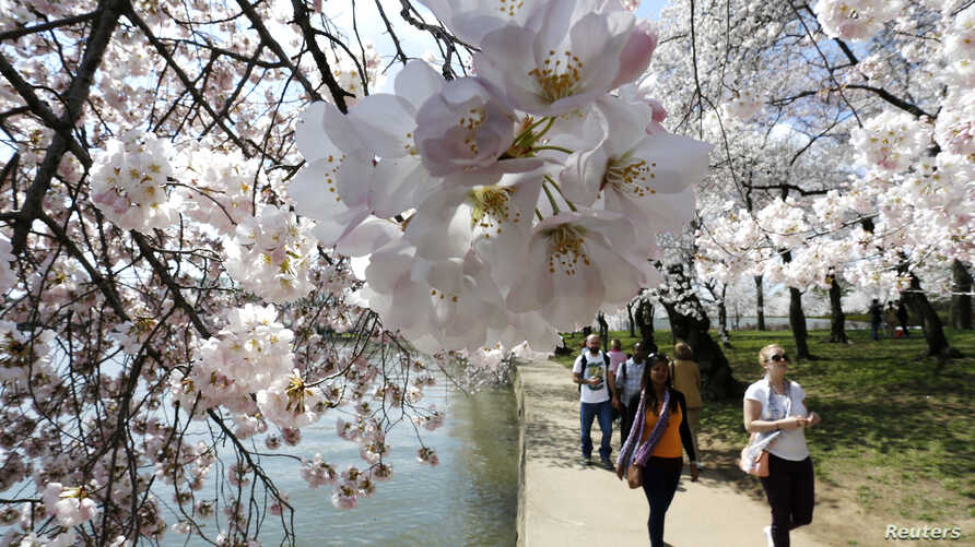 People walk amongst the famed cherry blossoms along the Tidal Basin in Washington