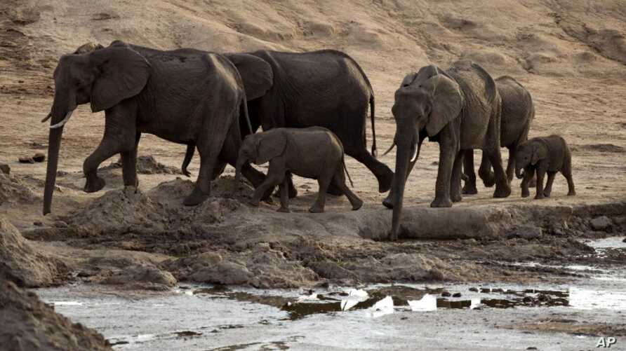 A herd of African elephants is pictured on Nov. 17, 2012, in Hwange National Park in Zimbabwe.