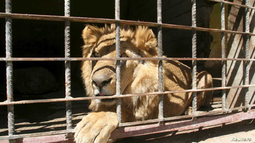 A lion sits inside its cage at a zoo in Yemen's southwestern city of Taiz, Feb. 22, 2016. Fighting, bombing and a blockade by militiamen of food and water that have killed hundreds of people in the southwestern Yemeni city of Taiz have not spared the