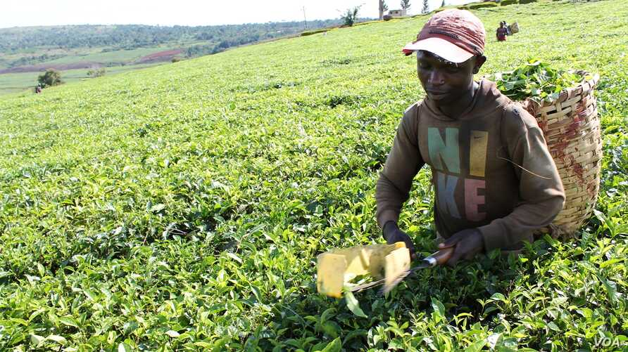 Workers use plucking shears to pick tea, which tends to reduce the quality of the finished product, Uganda, October 2, 2012. (H. Heuler/VOA)