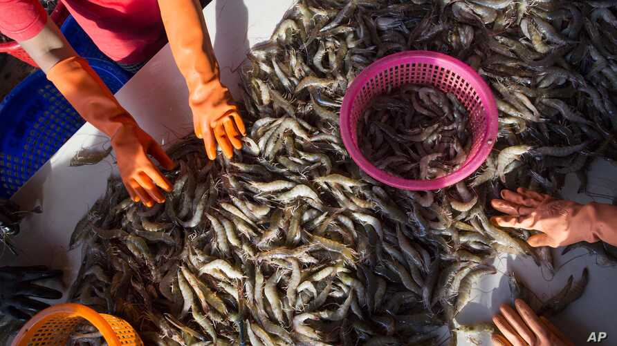 FILE- Female workers sort shrimp at a seafood market in Mahachai, Thailand, Sept. 30, 2015.