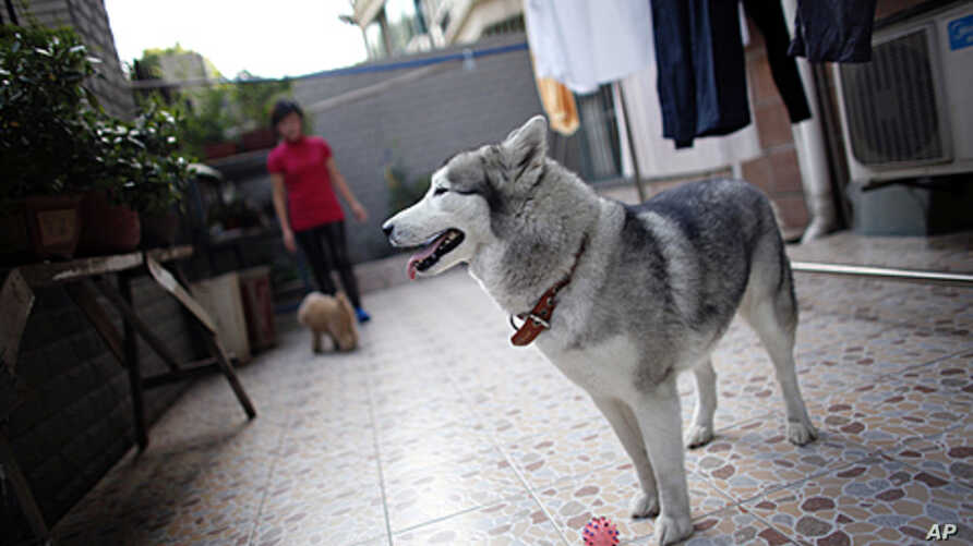 Guo Huiying plays with her dogs Snow (R) and Xixi (L) at her apartment in Shanghai, China, May 13, 2011