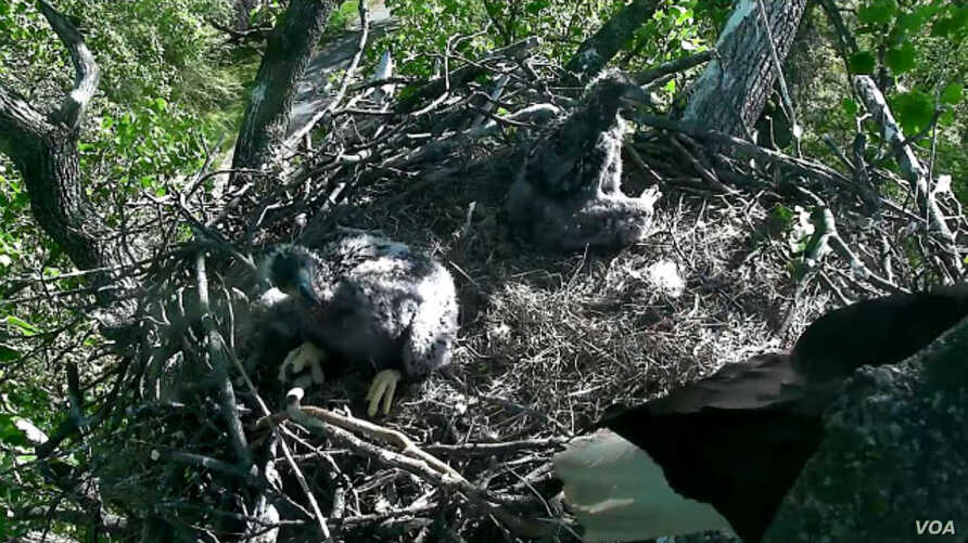 Screen grab of baby eagles from D.C. Eagle Cam project livestream, April 20, 2016.