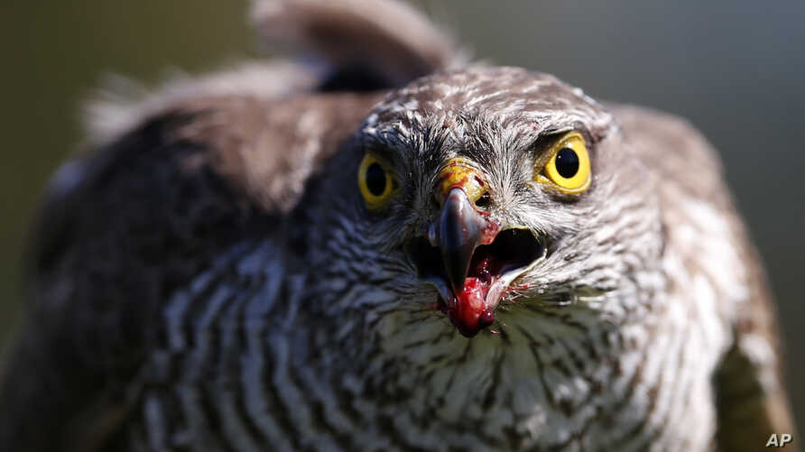 FILE- In this April 23, 2015, file photo a sparrow hawk looks up after catching a pigeon on a falcon farm, near the northern Serbian town of Coka.