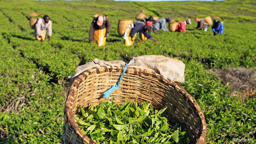 File - Workers pick tea leaves at a plantation in Nandi Hills, in Kenya's highlands region west of capital Nairobi.
