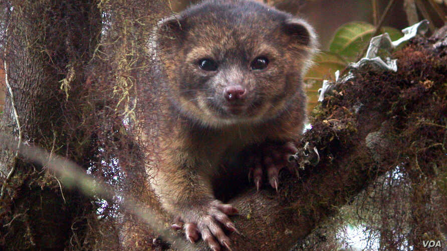 A team, led by Smithsonian scientist Kristofer Helgen, spent 10 years examining hundreds of museum specimens and tracking animals in the wild in the cloud forests of Ecuador. The result―the newest species of mammal known to science, the olinguito (Ba