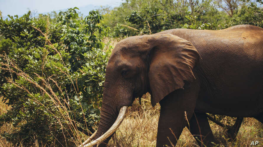 FILE - In this photo supplied by World Wildlife Fund and taken Aug, 2016 an elephant is shown in Tanzania's Selous wildlife reserve, which is described by the United Nations as one of Africa's biggest remaining wilderness areas.