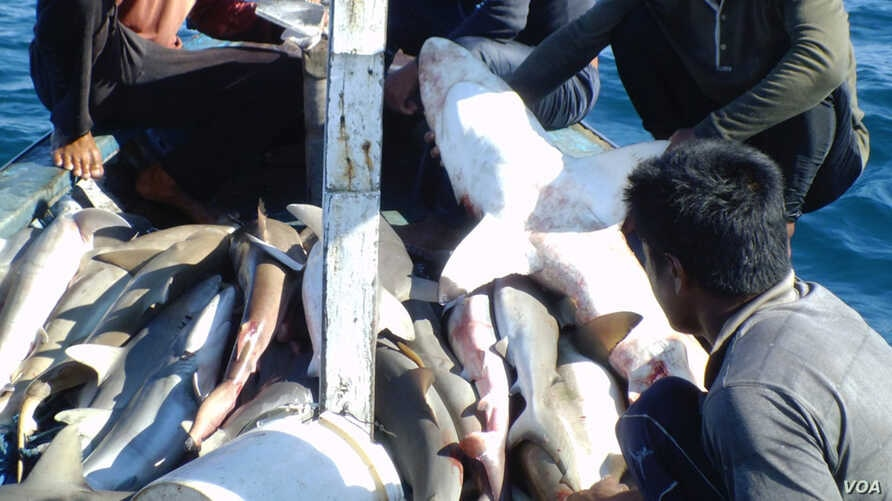 A shark catch aboard a ship (Photo courtesy of Vanessa Jaiteh).