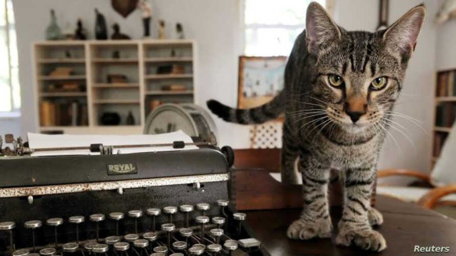One of six-toed cats felines descended from a tomcat named Snow White that the acclaimed American author Ernest Hemingway adopted while he lived there in the 1930s, is seen in this undated photo at the Hemingway Home Museum in Key West, Florida.