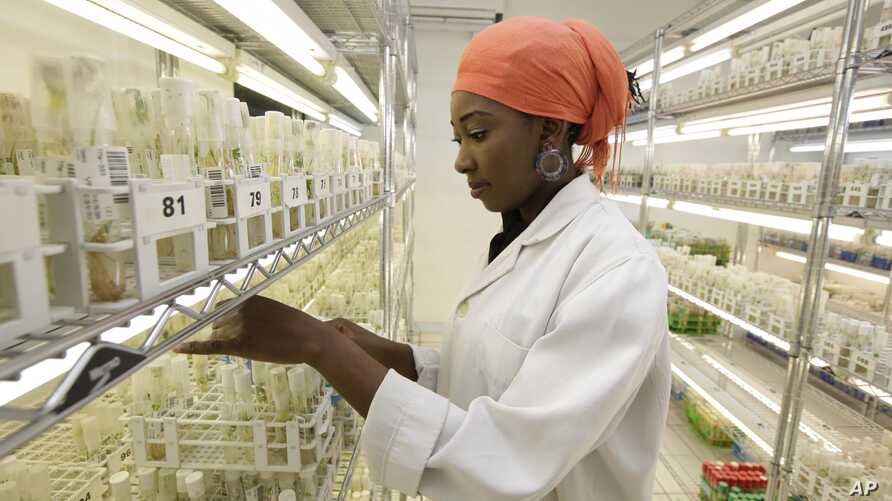 New hardy cassava varieties for the sub-Sahara are stored at the International Institutes For Tropical Agriculture in Ibadan, Nigeria.