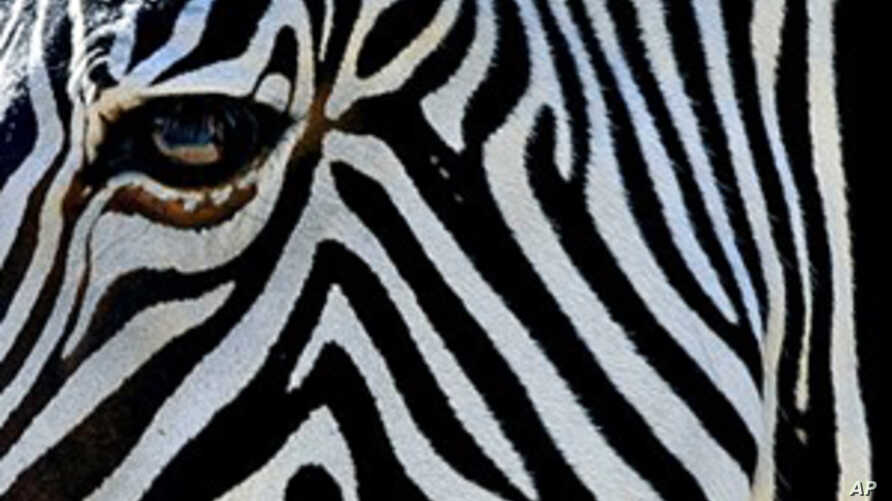 Zebra Stripes May Act as Natural Insect Repellent