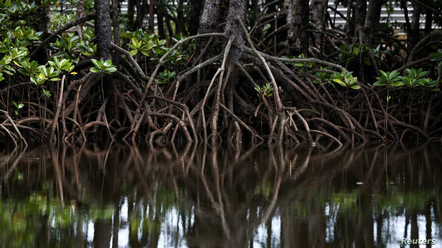 The roots of mangrove trees are seen along a river in Pitas, Sabah, Malaysia, July 6, 2018.