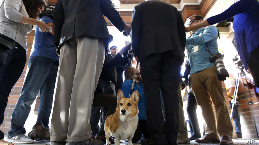 First dog Sutter Brown looks around as his owner California Gov. Jerry Brown, third from right, talks to reporters after casting his ballot in Sacramento, Calif. Sutter passed away Dec. 30, 2016, at the family ranch in Colusa County, where he was la