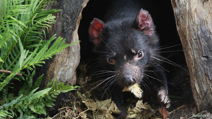 FILE - A Tasmanian Devil eats the head of a small chicken at its new enclosure at Wild Life Zoo in central Sydney, Australia.