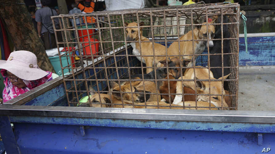 In this undated photo released by Dog Meat Free Indonesia, dogs for sale are seen in a cage on the back of a truck at a market in Air Madidi, North Sulawesi, Indonesia.