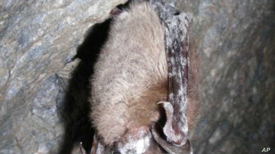 "A deadly disease in bats called ""white-nose syndrome"" was"