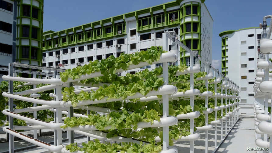 Organic vegetables are seen on growing towers that are primarily made out of polyvinyl chloride pipes at Citiponics' urban farm on the rooftop of a multi-story garage in a public housing estate in western Singapore, April 17, 2018.
