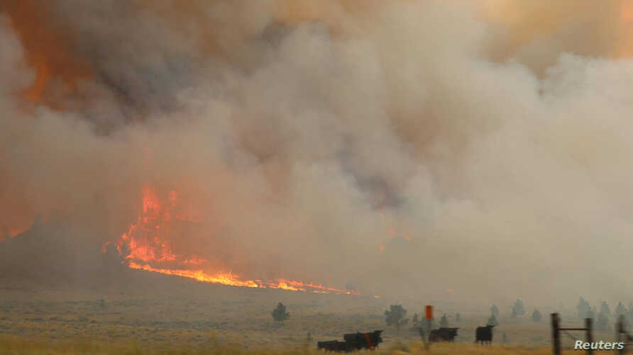 Cattle are seen near the flames of the Lodgepole Complex fire in Garfield County, Montana, July 21, 2017.