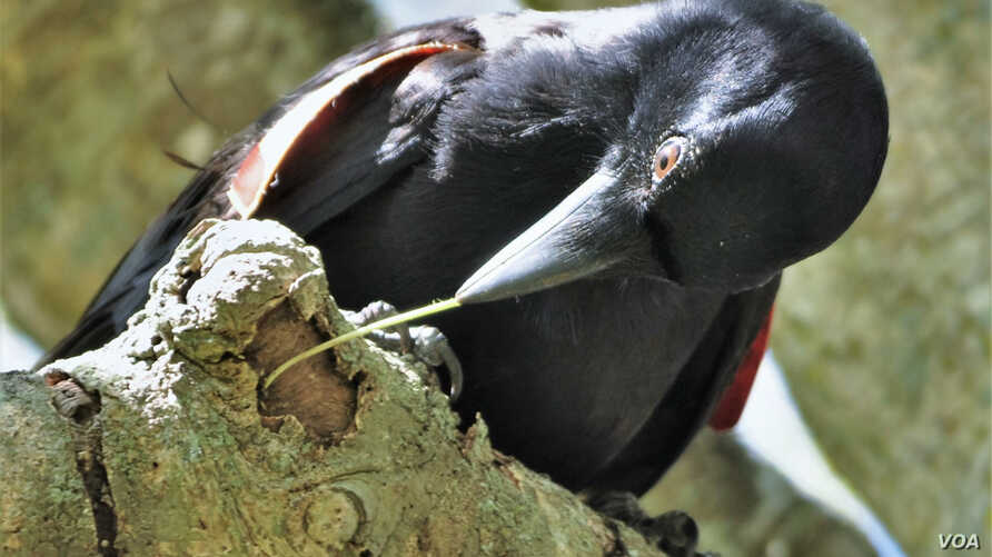 Crafting hooked tools let crows extract grubs hidden in crevices more quickly than using a straight twig. (J.St Clair)