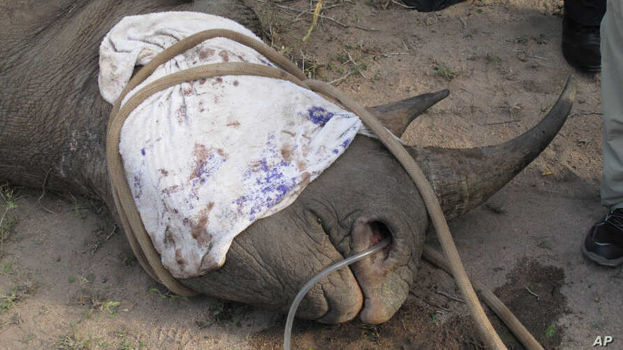A sedated rhino lies on the ground in the Kruger National Park after rangers darted it so they could attach a tracking device to the animal in efforts to stop poaching. Poachers have killed rhinos in record numbers to meet the consumer demand for the