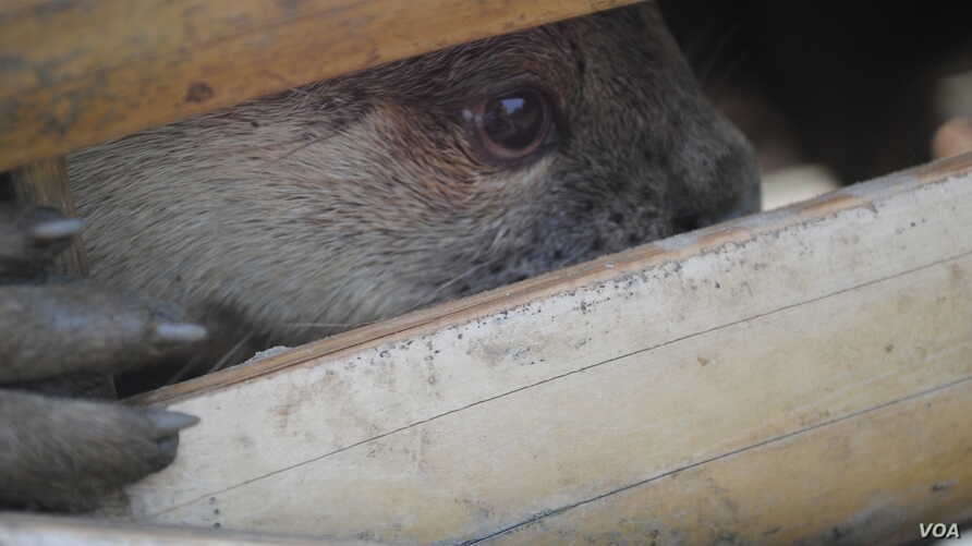 River otters are born and tamed in captivity to assist Bangladeshi fishermen. (Amy Yee for VOA)