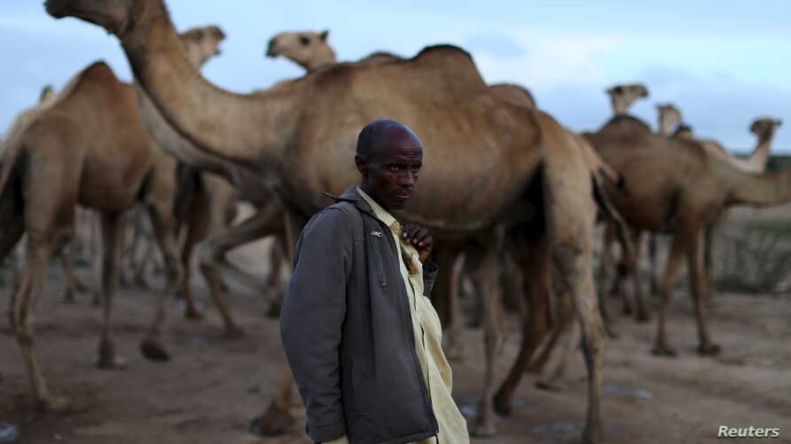 A camel herder stands his stock near Borama, Somalia, April 16, 2016. Recently, al-Shabab troops have taken to killing farmers and stealing their livestock.