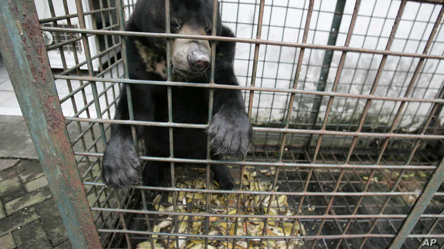 FILE - In this March 10, 2012 photo, a moon bear which suffers from a skin tumor sits inside a cage at the quarantine section of Surabaya Zoo in Surabaya, East Java, Indonesia.
