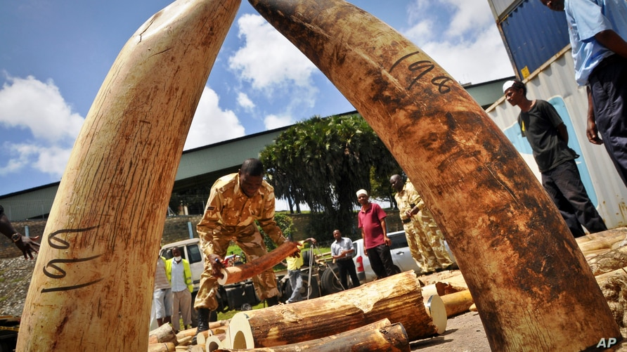Officials display some of more than 1,600 pieces of illegal ivory found hidden inside bags of sesame seeds in freight traveling from Uganda, in Kenya's major port city of Mombasa, Oct. 8, 2013.