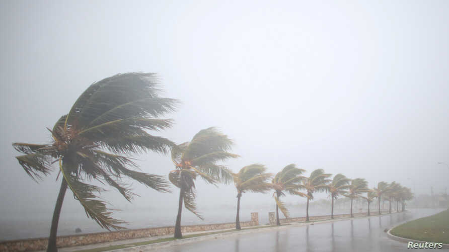 Palm trees sway in the wind before the arrival of the Hurricane Irma in Caibarien, Cuba, Sept. 8, 2017.