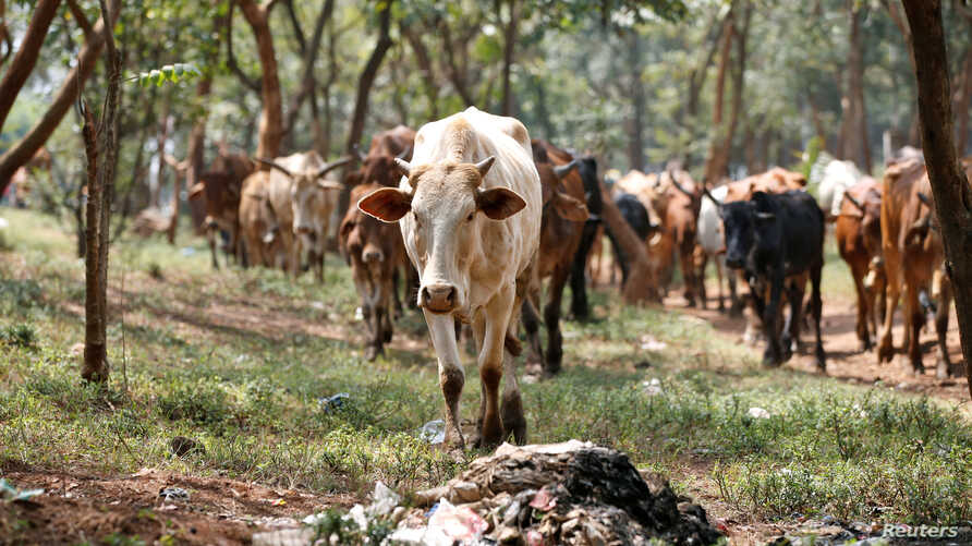 FILE - A cow grazes in Nairobi, Kenya, Aug. 25, 2017. A group of women in Kenya were able to start a business raising cattle for slaughter after acquiring a loan without a land title document.