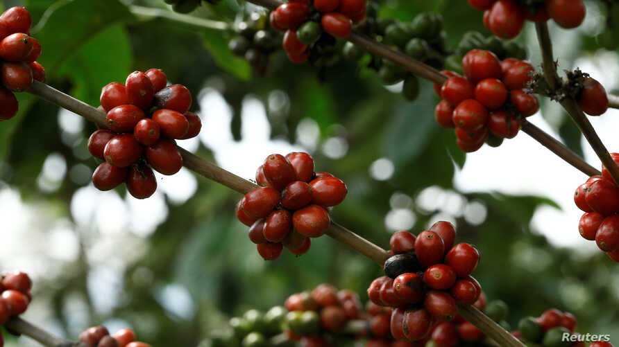 Ripe coffee beans are seen in an experimental plantation of robusta coffee in Turrialba, Costa Ric, Aug. 16, 2016.