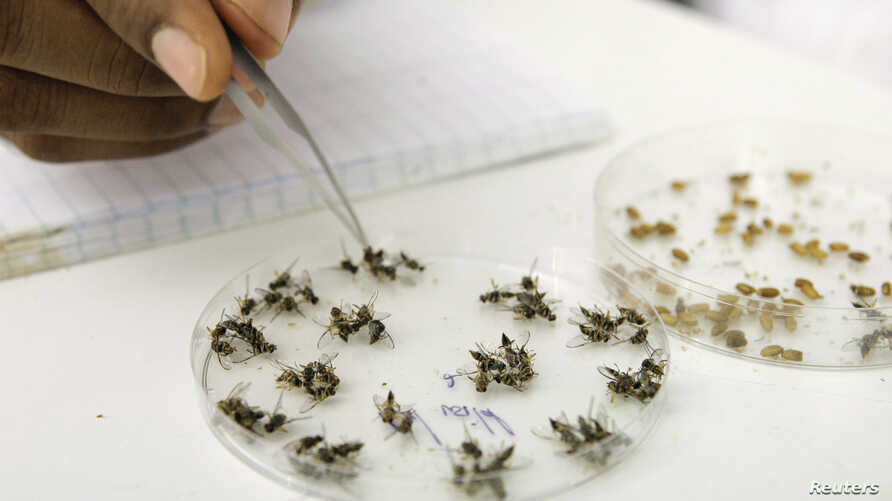 A laboratory assistant sorts out fruit flies at the International Atomic Energy Agency (IAEA) laboratories in Seibersdorf, Austria, Oct. 14, 2009. Fruit flies are a good place to begin to study how microbes affect complex behaviors like food choices.