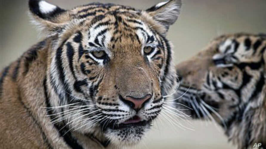 Estimates for the number of tigers in the wild has fallen in the past decade  according to the New York-based Wildlife Conservation Society. Many of the tigers at the Thai temple are the cubs of parent tigers that have been killed in the wild, (File)