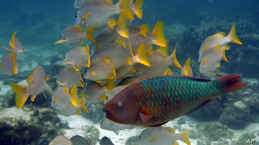 FILE - This photo taken March 2009 shows a Rainbow Parrot fish, front, passing by a group of yellow tail snapper off Caye Caulker Island near the second largest barrier reef that runs along the coast of  Belize.