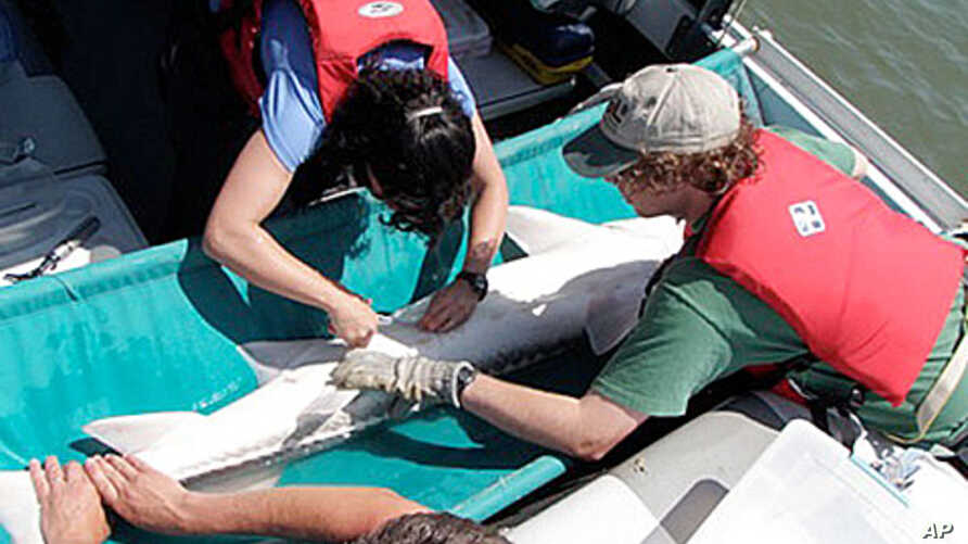 Researchers tag a white sturgeon on the Fraser River in British Columbia, Canada.