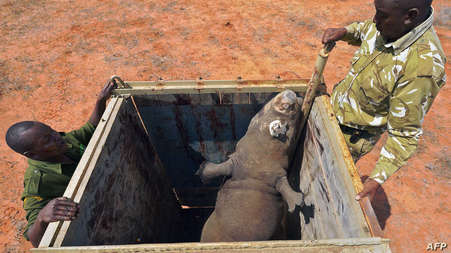 FILE - Rangers stand next to a black rhino about to be released out of a capture crate at the Sera Community Rhino Sanctuary in Samburu county, some 350 km north of the capital, Nairobi, May 20, 2015. A female black rhino also was transferred in May,