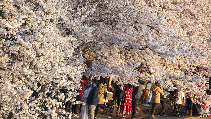 Dc S Cherry Blossoms At Risk From Popularity Floodwaters Voice Of America English