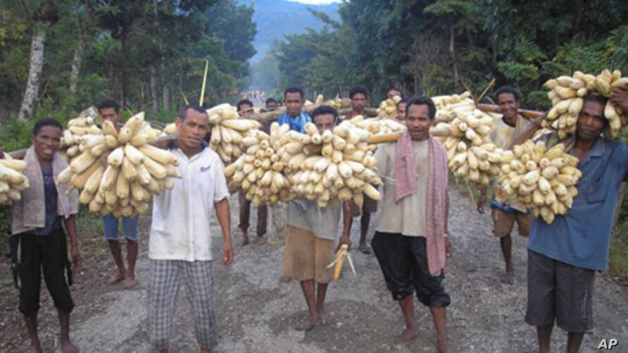Farmers in Indonesa harvest maize.