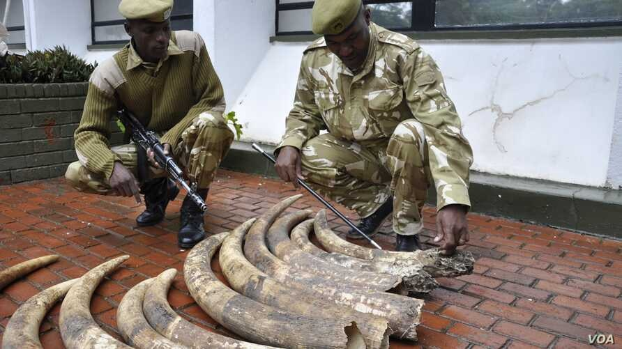 Kenyan Wildlife Service rangers display elephant tusks seized in Nairobi from a suspected smuggler who says the 19 tusks came from Tanzania,  March 31, 2013. (KWS)