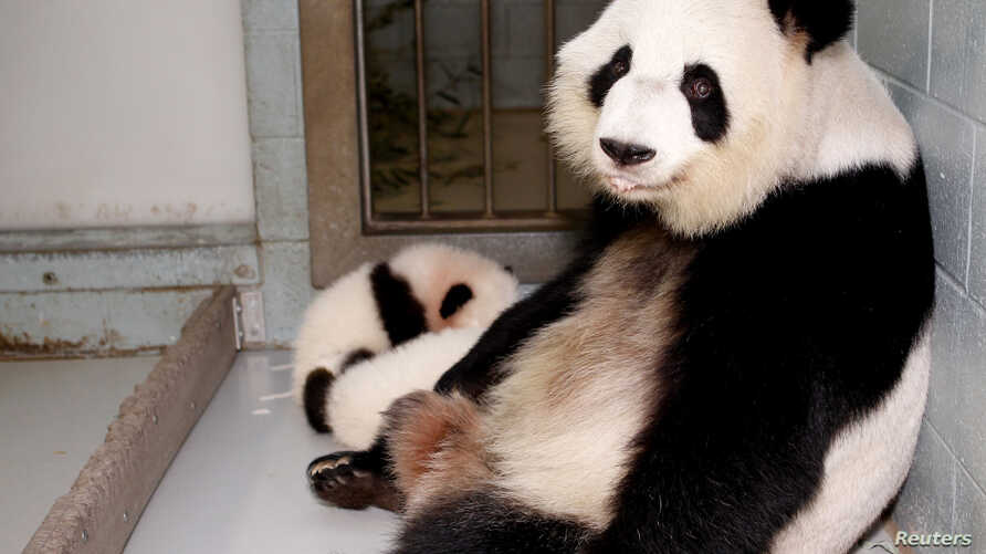 FILE - Giant panda Lun Lun relaxes as her twin cubs, Mei Lun and Mei Huan, sleep at her feet at Zoo Atlanta in Atlanta, Nov. 14, 2013.  Lun Lun gave birth to another set of twins Saturday, the zoo said.