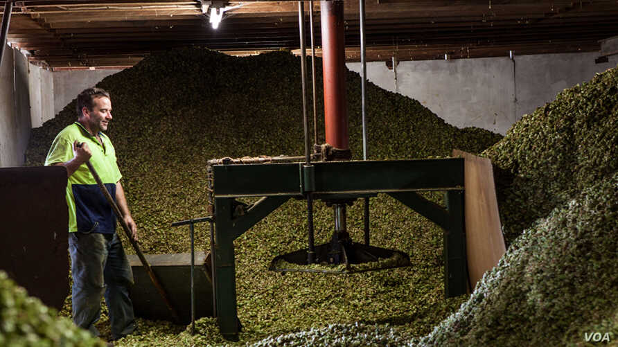 SABMiller Plc, Fosters Group and CUB Australia 2012 .Ellerslie Hop Farm.Credit: Tom Parker/OneRedEye