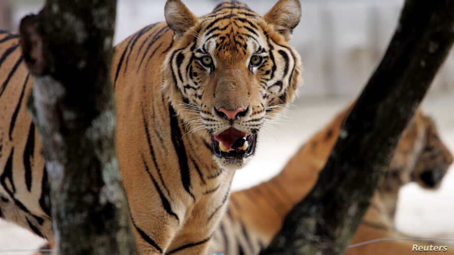 FILE - A tiger stands in its cage at Siracha zoo, 80 km (50 miles) east of the Thai capital Bangkok.