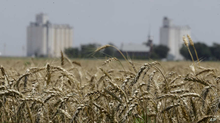 FILE -- Wheat stands ready for harvest in a field near Anthony, Kan., June 21, 2015.