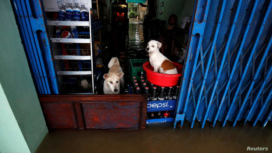 Dogs stand on a flooded drink shop after typhoon Damrey hits Vietnam in Hue city, Vietnam November 5, 2017.
