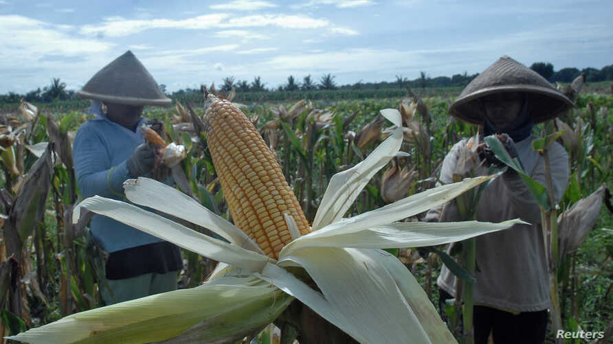Farmers harvest corn in Purworejo, Indonesia, Jan. 4, 2017. The government decided to import 100,000 tons of corn for cattle feed until the end of the year.