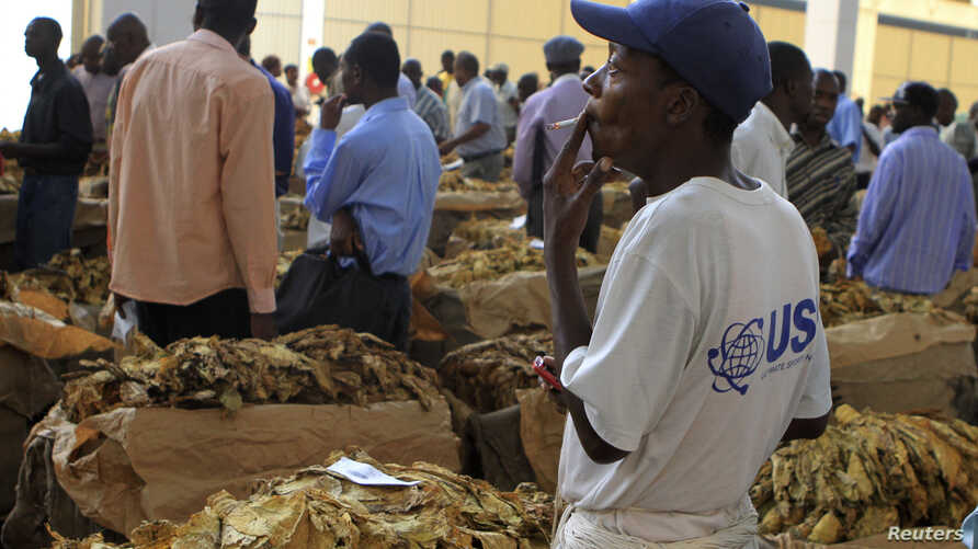 FILE - A worker smokes a cigarette at the opening  of the 2012 selling season at Zimbabwe's Boka Tobacco Sales Floor in Harare, Feb. 15, 2012.