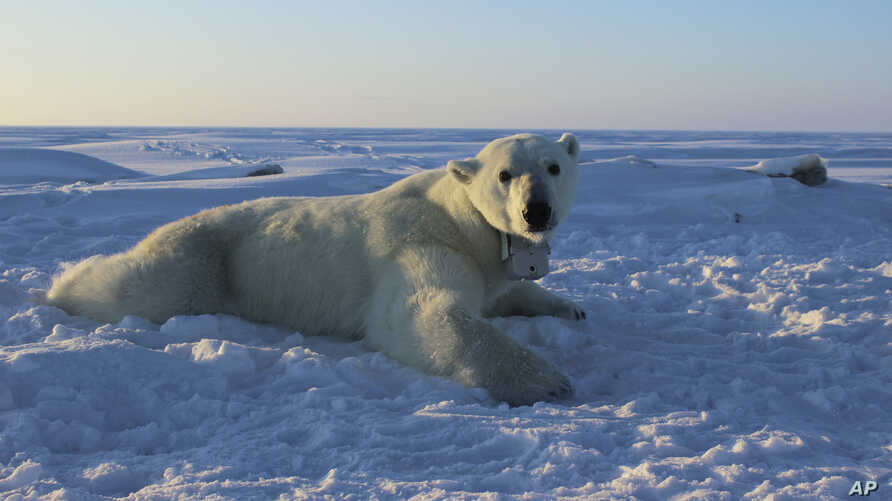 In this April 15, 2015 photo provided by the United States Geological Survey, a polar bear wearing a GPS video-camera collar lies on a chunk of sea ice in the Beaufort Sea. A new study released Feb. 1, 2018 shows some polar bears in the Arctic are sh