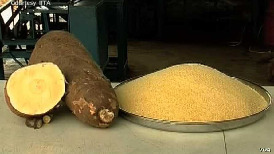 Vitamin A-enhanced Cassava Fights Malnutrition
